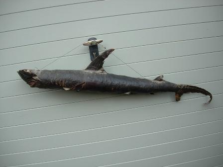 VICTORIAN TAXIDERMY HAMMERHEAD SHARK