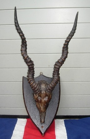 Blackbuck antelope skull - photo#9